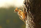 Zikade-Shell auf dem Baum