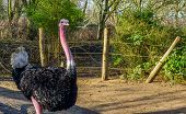Portrait Of A Male Red Necked Ostrich, Also Called North African Ostrich, A Tropical And Critically  poster