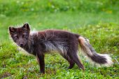 foto of arctic fox  - Arctic Fox in tundra in the summer ( Commander Islands )