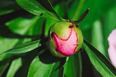Small Black Ants Creep On Young Peony Bud In Macro. Green Pink Unblown Bud With Long Green Leaves Cl poster