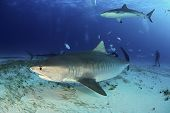 Tiger Shark (galeocerdo Cuvier) Swimming By Closely, With Caribbean Reef Shark Above. Tiger Beach, B poster