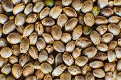 Macro Detail Of Marijuana Seed. Many Cannabis Seeds. Organic Hemp Seed. Close Up. Hemp Seeds Backgro poster