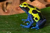 poison dart frog with bright yellow blue and black colors, toxic amphibian of amazon rain forest poi