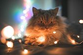 Close-up Photo Of Beautiful, Gray, Fluffy, Adult Cat, Lying On A Bed Of Lights Bokeh. Pet Lays On Th poster