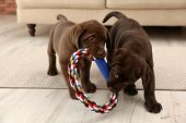 Chocolate Labrador Retriever Puppies With Toy Indoors poster