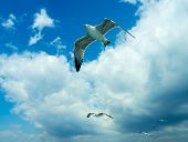 Seagull Soaring In The Blue Sky. Flight Over Bosform poster