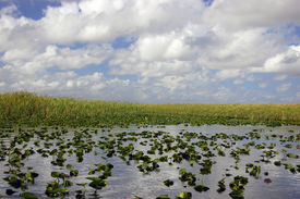 stock photo of airboat  - Scene in the Everglades Florida off the bow of a airboat - JPG