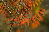 Backlit Fall Colored Leaves