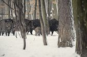 Wild Boar In The Winter Frosty Forest With Snow