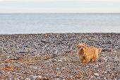 foto of border terrier  - Norfolk terrier on the beach on a autumn morning - JPG
