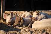 Group of pigs lying down