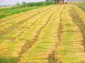 crop harvesting in field