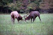 picture of sparring  - Two American elk spar in an open meadow - JPG
