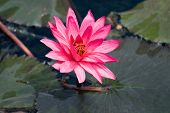 Pink Lily Nymphaea On The Water Surface