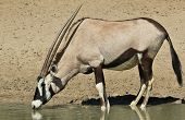 Oryx / Gemsbok - Wildlife Background from Africa - Quenching Thirst