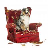 stock photo of australian shepherd  - Australian Shepherd sitting on a detroyed armchair - JPG