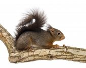 Red squirrel or Eurasian red squirrel, Sciurus vulgaris, standing on a branch, isolated on white