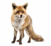 picture of vertebrate  - Red fox - JPG