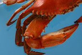picture of cooked blue crab  - boiled crab partial on a blue background - JPG