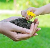 Child Hands Putting Flower Into Soil In Female Hands