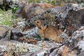 Northern Pika (ochotona Hyperborea)