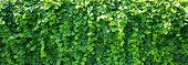 stock photo of ivy vine  - Background of ivy covered wall - JPG