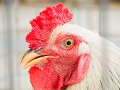 close up of rooster head in a cage