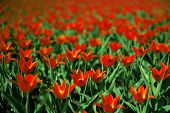 beautiful red tulips on summer field