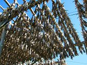 Drying stockfish