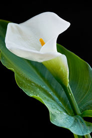 image of single flower  - Calla lily with water droplets iasolated on a black background - JPG