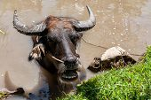 Water buffalo in the Mekong delta