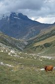 Brown Cow In French Alps, Savoy, France