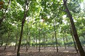 Para rubber tree garden in Thailand