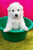 stock photo of swiss shepherd dog  - Baby swiss shepherd sitting in green wash - JPG