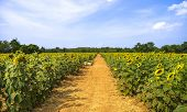 Pathway In Sunflower Cultivation