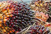 The Group Of Palm Seed For Palm Oil