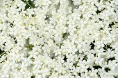 Detail Of Elder Flower Sambucus Nigra