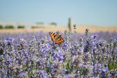 Butterfly in Lavender meadow