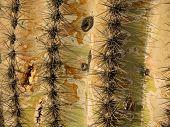 Ancient Saguaro Cactus