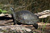 stock photo of cooter  - Florida Red - JPG
