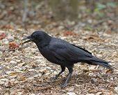 Crow Gift