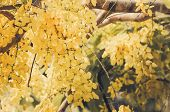 image of cassia  - Golden shower or Cassia fistula flower in the garden or nature park Thailand vintage - JPG