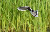 The Black-headed Gull (chroicocephalus Ridibundus)
