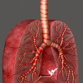 stock photo of respiration  - The lung is the essential respiration organ in many air - JPG