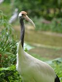 Red crowned Crane aka Grus japonensis