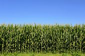 Agricultural Field Of Corn Plants, Zea Mays