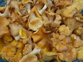 picture of chanterelle mushroom  - Close up photo of a mess of yellow chanterelles - JPG