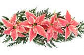 Poinsettia flower thanksgiving decoration with cedar cypress leaf sprigs over white background.