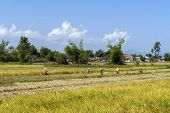 Rice Harvest Is Manual Labor For Many.