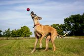 Great Dane trying to catch red ball in the air